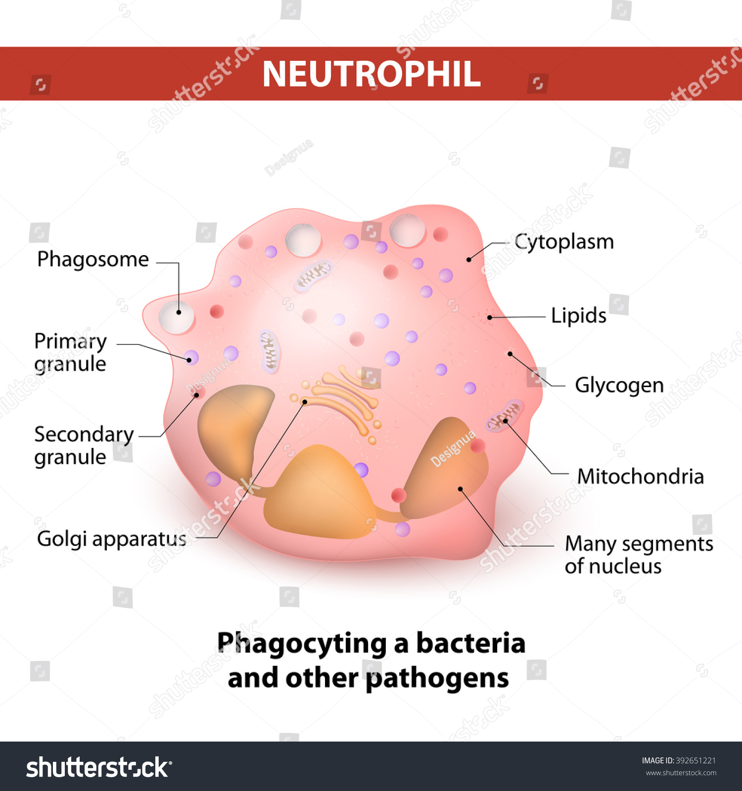 Neutrophils White Blood Cell Diagrams Wire Data Schema Model Diagram Type That Stock Vector Royalty Free Rh Shutterstock Com Labeled