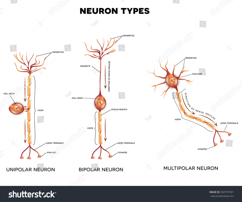 Neuron Types Cells That Main Part Stock Vector 392757391 ...