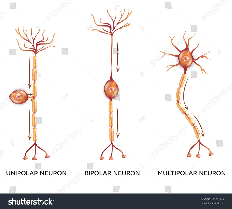 Neuron Types Cells That Main Part Stock Illustration 392758282 ...