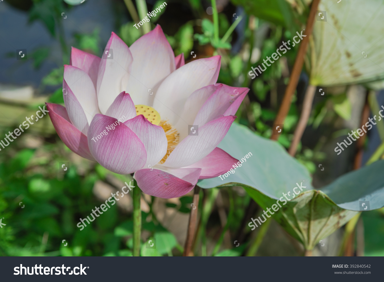 Vietnam National Flower Topsimages