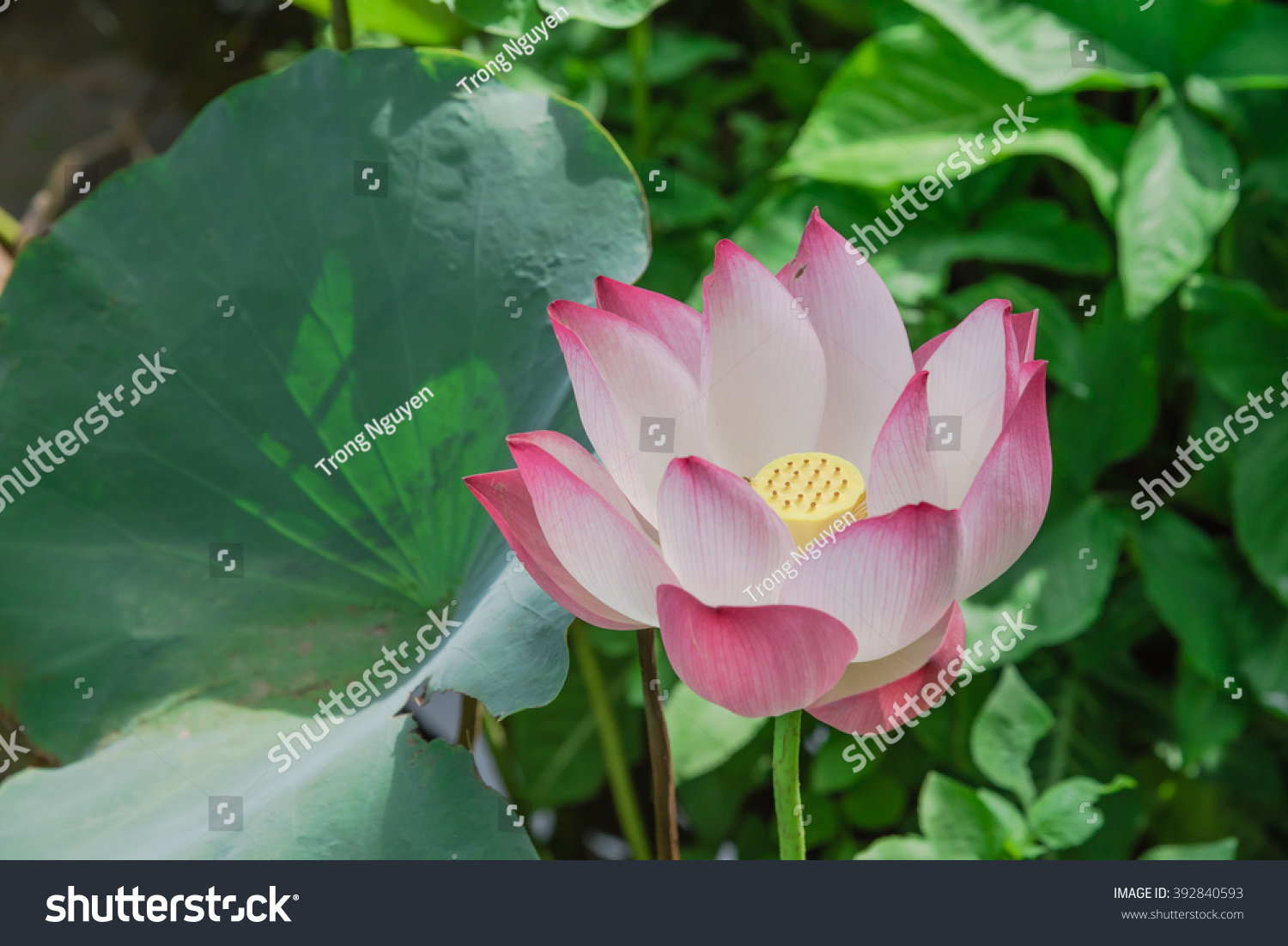 Close up view blooming pink lotus flower or nelumbo nucifera gaertn id 392840593 izmirmasajfo
