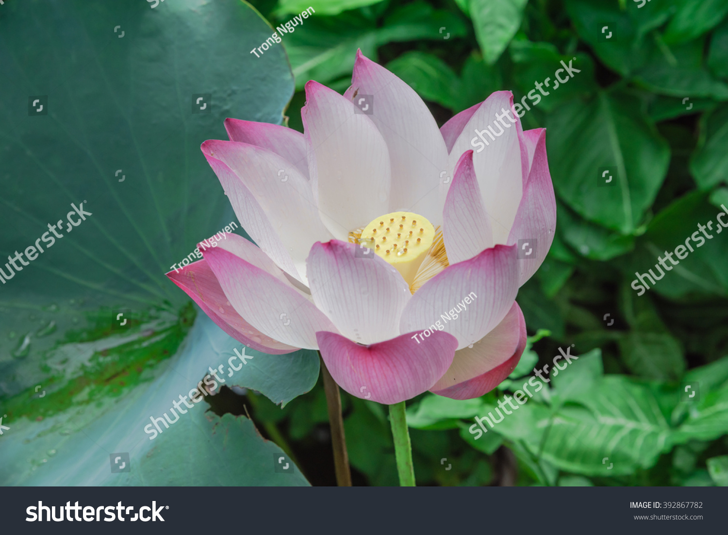 Close up view blooming pink lotus flower or nelumbo nucifera gaertn id 392867782 izmirmasajfo