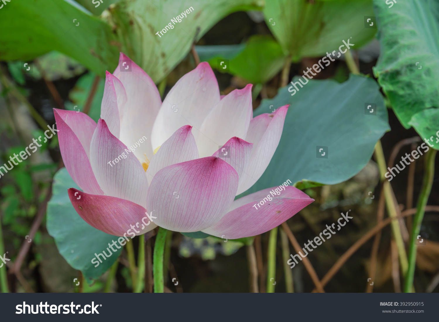 Closeup view blooming pink lotus flower stock photo edit now close up view blooming pink lotus flower or nelumbo nucifera gaertn nelumbonaceae izmirmasajfo