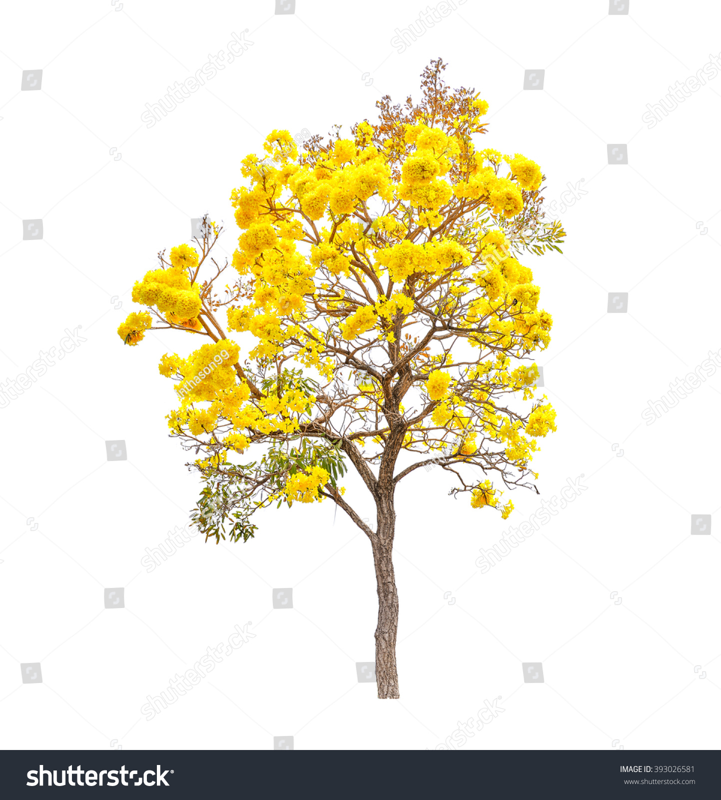 Yellow Flowers Tree Tabebuia Isolated On Stock Photo Edit Now