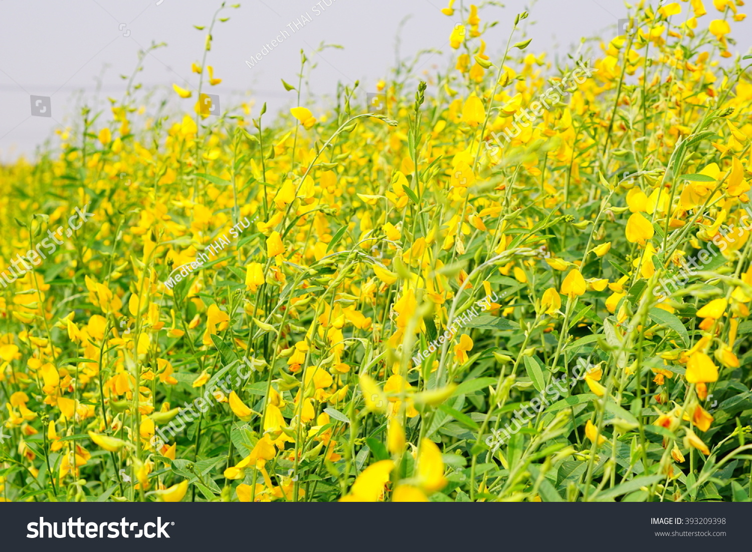 Close Ups Farm Of Flowers Crotalaria Yellow Background Blur Filled