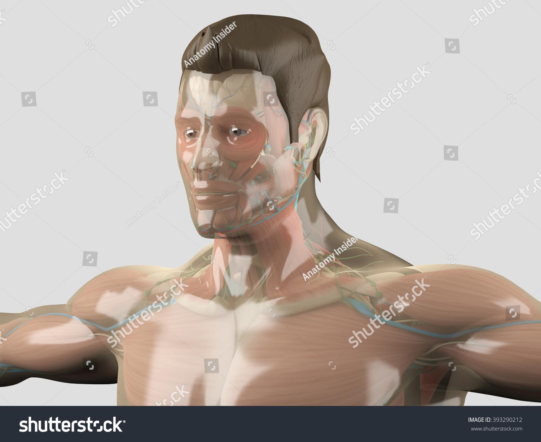 Glass Anatomy Human Anatomy See Through Stock Illustration 393290212