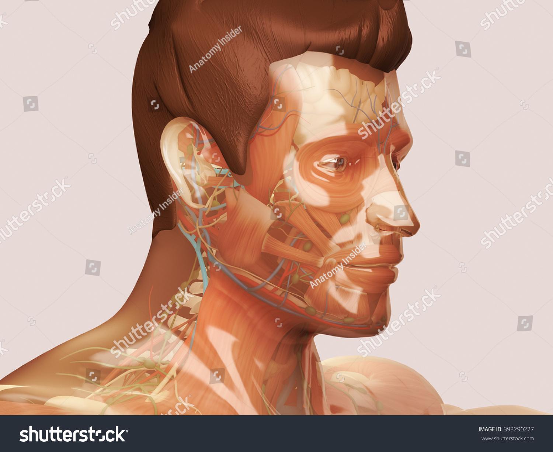 Glass Anatomy Human Anatomy See Through Stock Illustration 393290227 ...