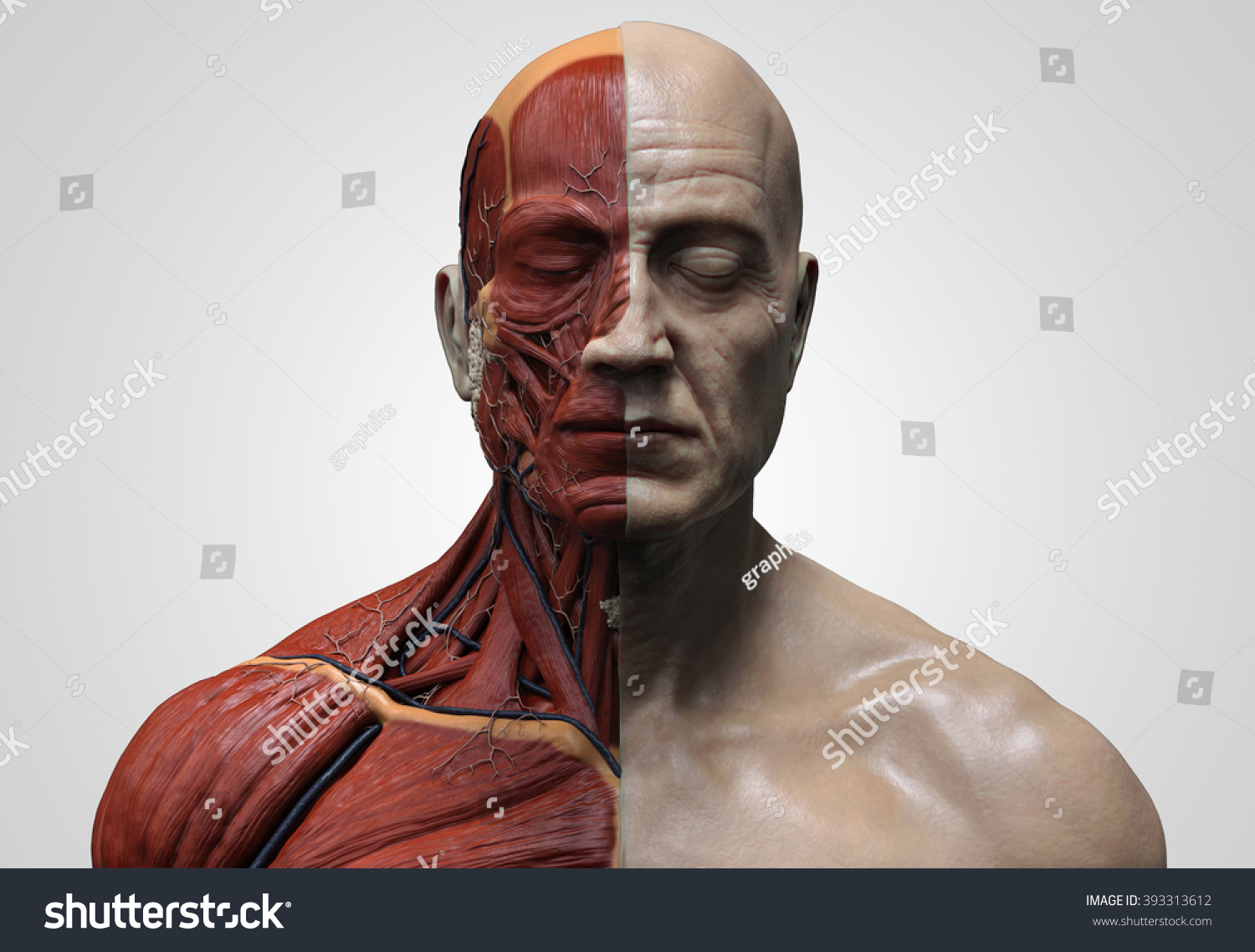 Human Anatomy Muscle Anatomy Face Neck Stock Illustration 393313612