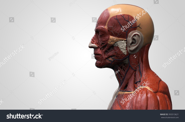 Head Torso Anatomy Human Head Shoulder Stock Illustration Royalty