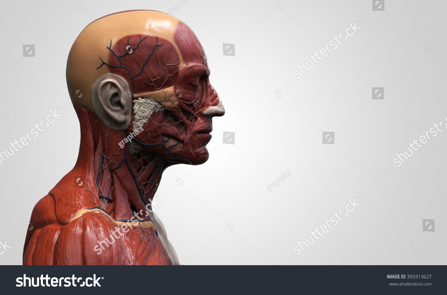 Head Torso Anatomy Human Head Shoulder Stockillustration 393313627