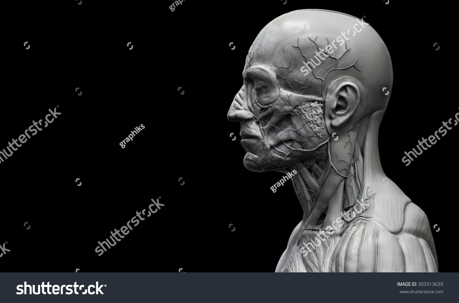 Head And Torso Anatomy Human Head And Shoulder Muscular Anatomy In