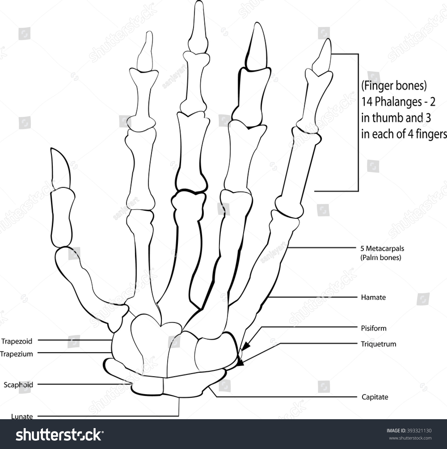 Bones Wrist And Hand Colored Diagram - DIY Enthusiasts Wiring Diagrams •