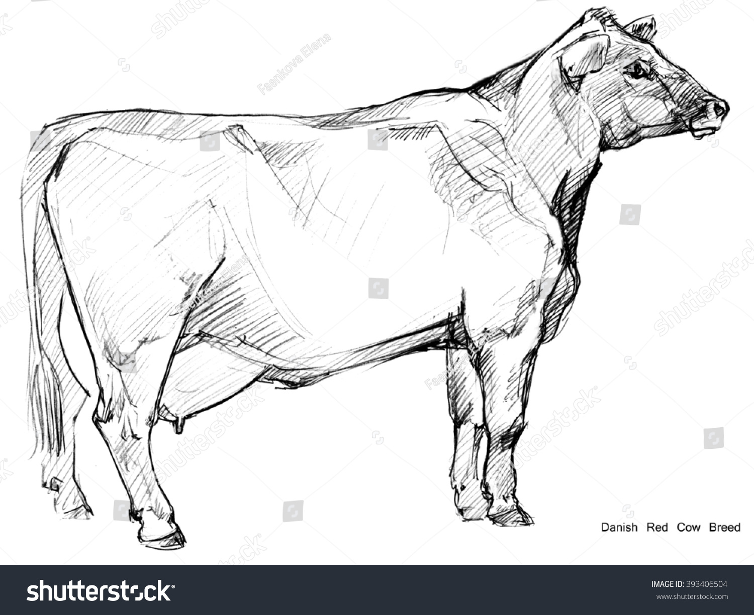 Dairy cow pencil sketch danish red stock illustration 393406504
