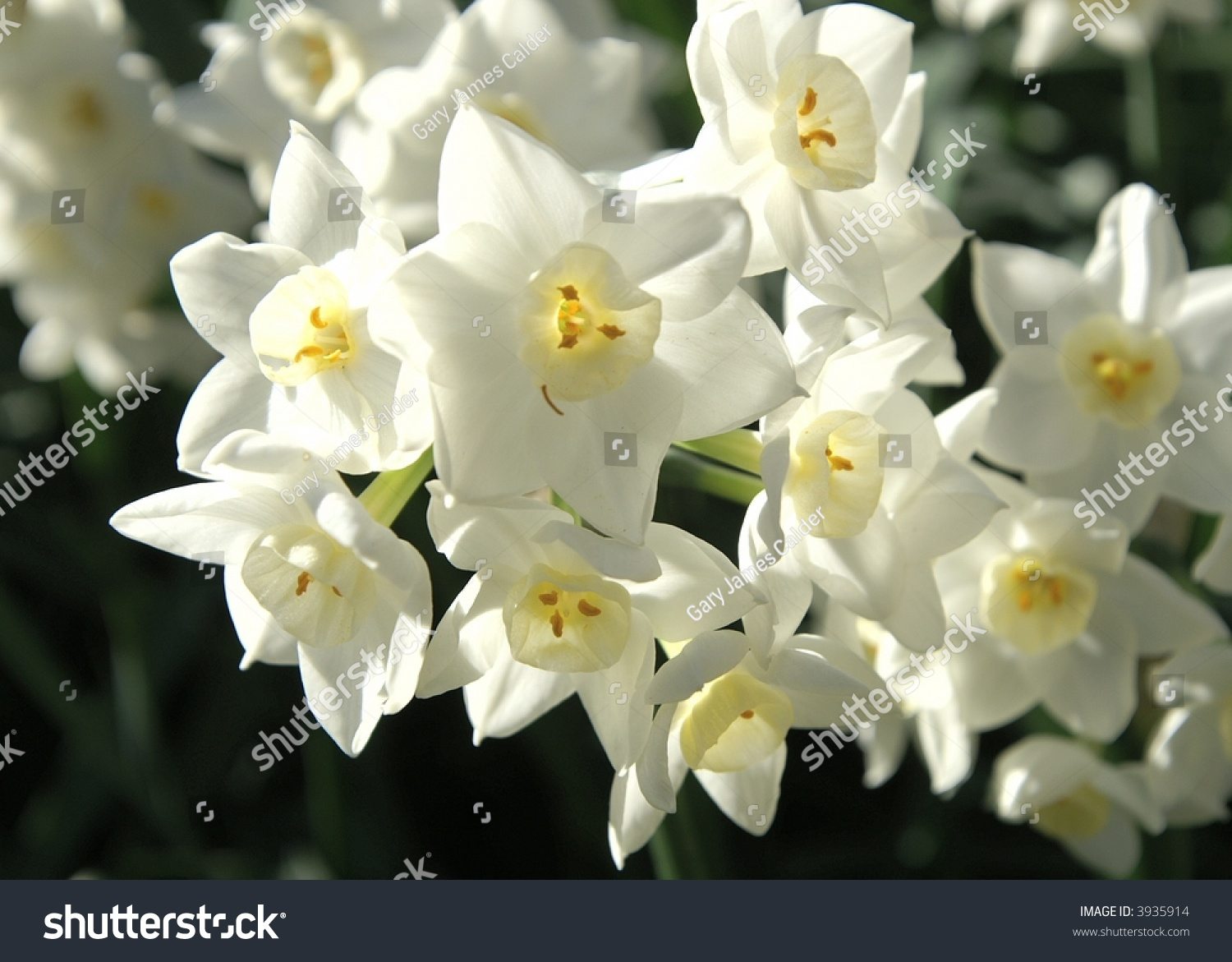 Delicate White Flowers Stock Photo Edit Now 3935914 Shutterstock