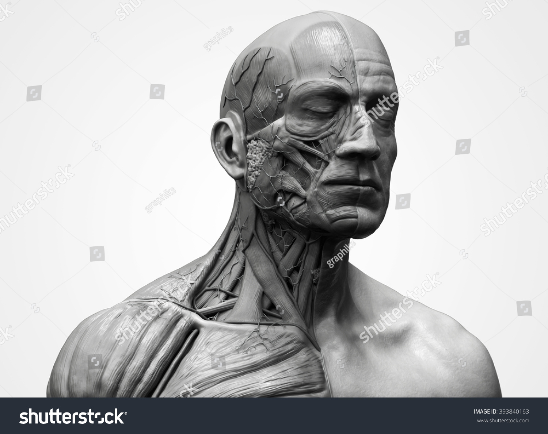 Royalty Free Stock Illustration Of Head Torso Anatomy Human Head