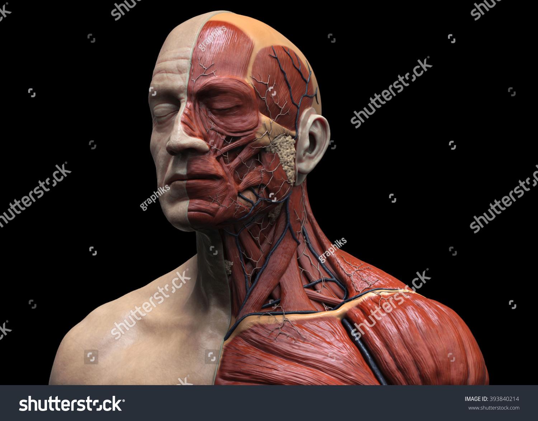 Head Torso Anatomy Human Head Shoulder Stock Illustration 393840214 ...