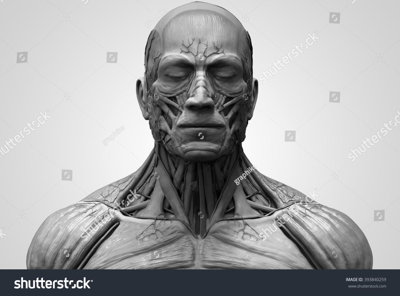Head Torso Anatomy Human Head Shoulder Stock Illustration 393840259