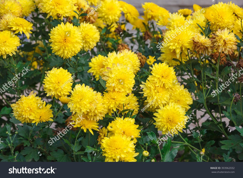 Aster Flower Yellow Stock Photo Edit Now 393962032 Shutterstock