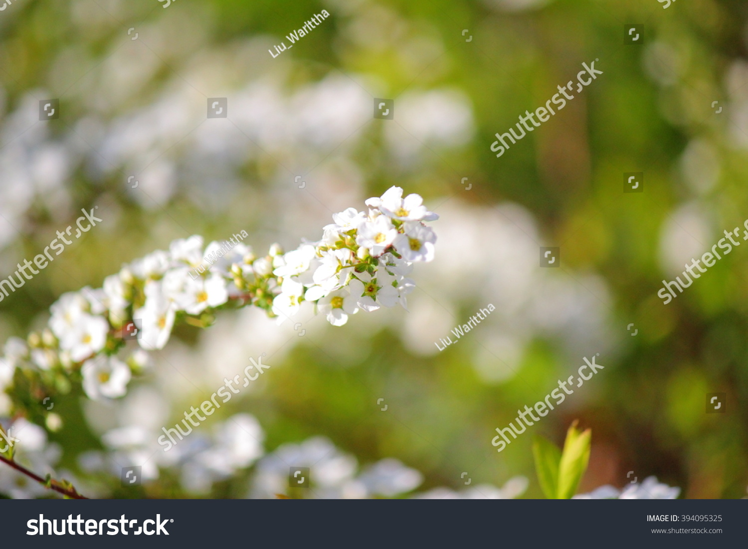 Spiraea Arguta Small White Flowers Blooming Stock Photo Edit Now