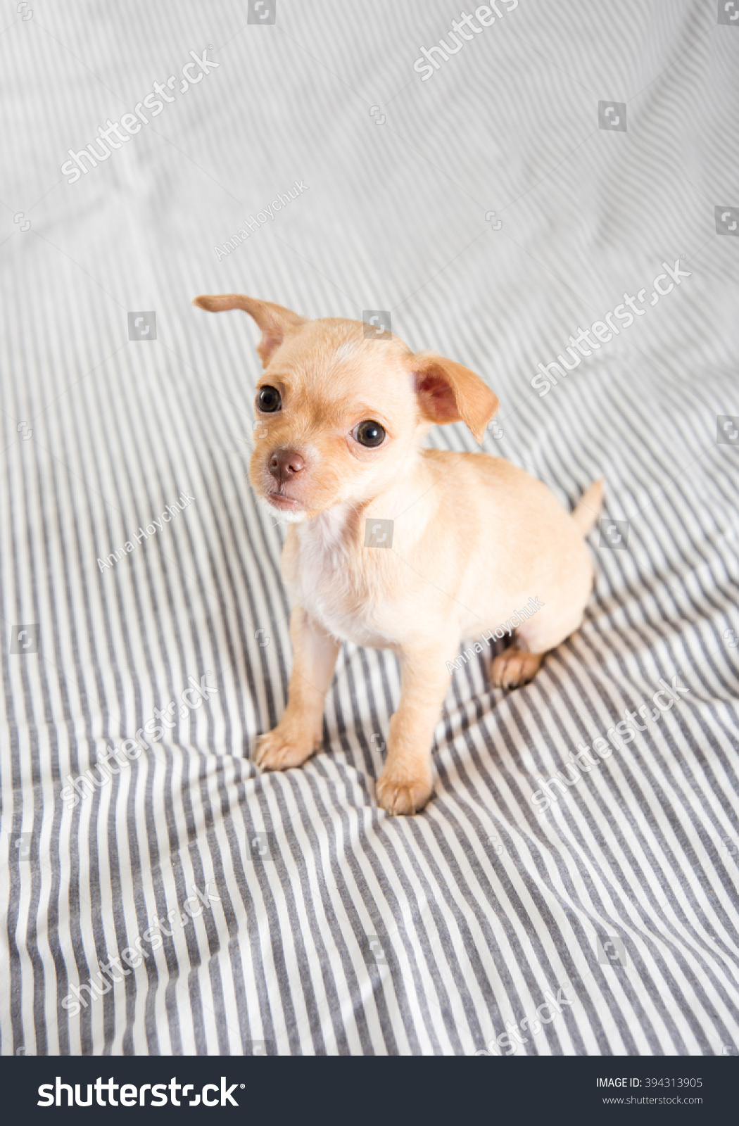 Royalty-free Tiny Tan Colored Chihuahua Puppy on… #394313905 Stock ...
