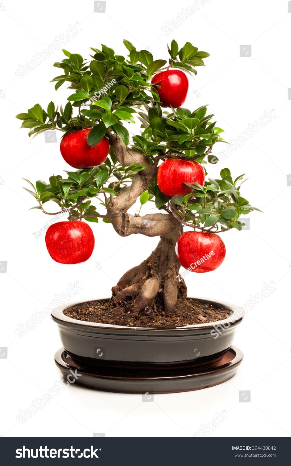 Bonsai Tree Big Apple Isolated On Stock Photo Royalty Free