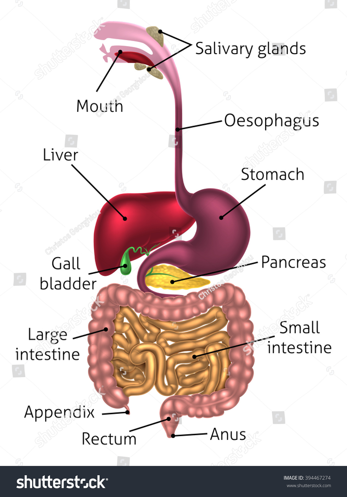 Human Digestive System Digestive Tract Alimentary Stock Illustration ...