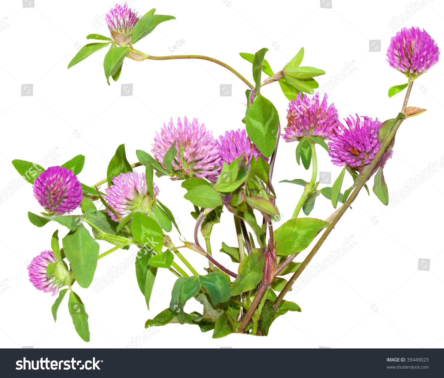 Bundle Pink Clover Flowers Trifolium Pratense Stock Photo Edit Now
