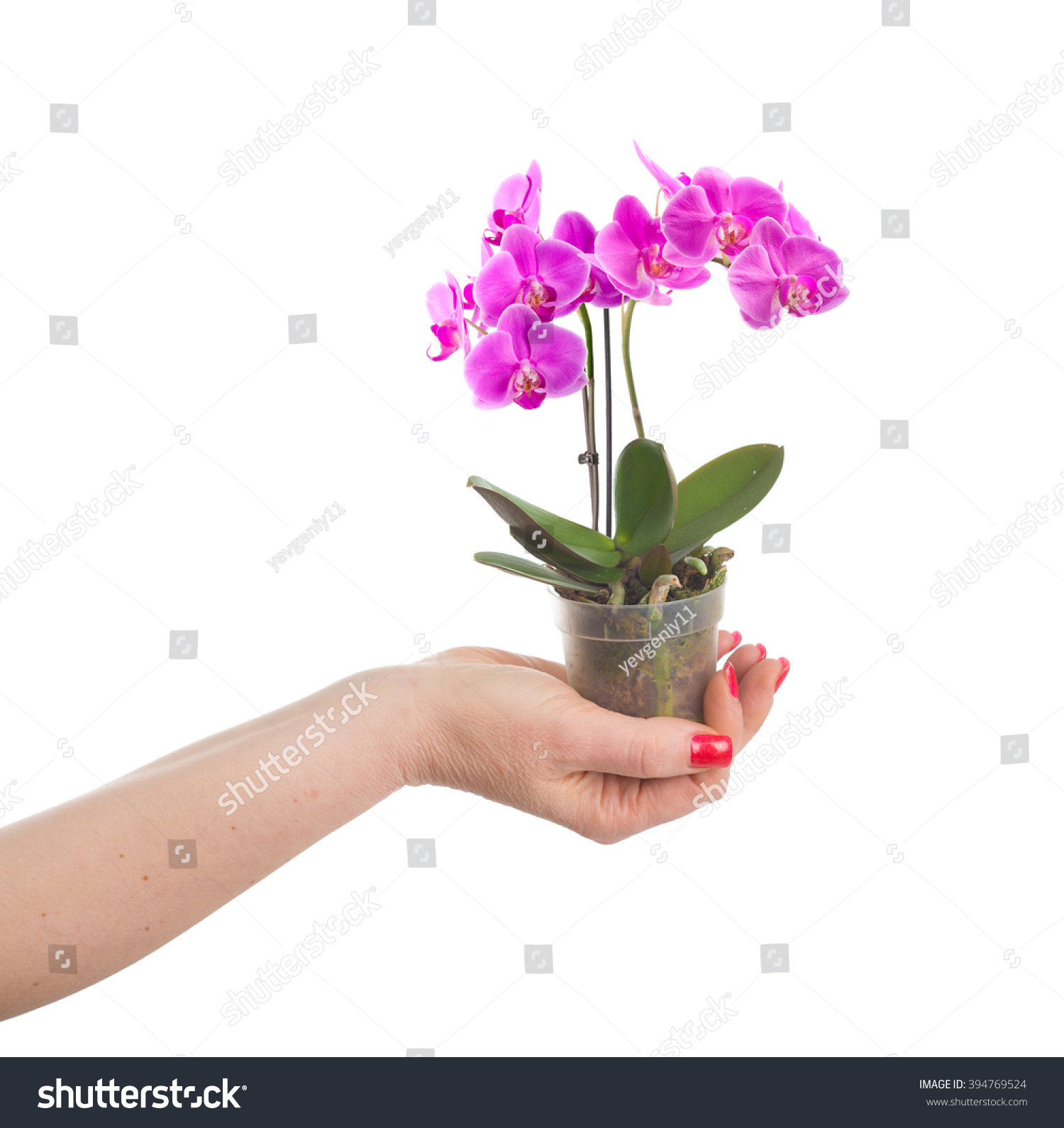 Hand Holding Flower Pot Mini Orchid Stock Photo Edit Now 394769524