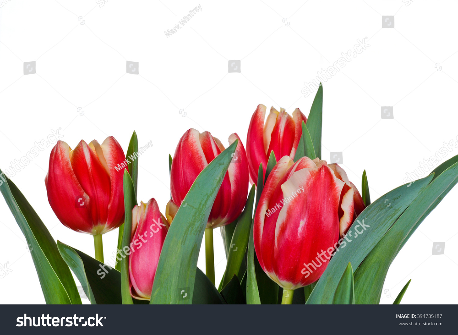 stock-photo-red-tulips-on-white-backgrou