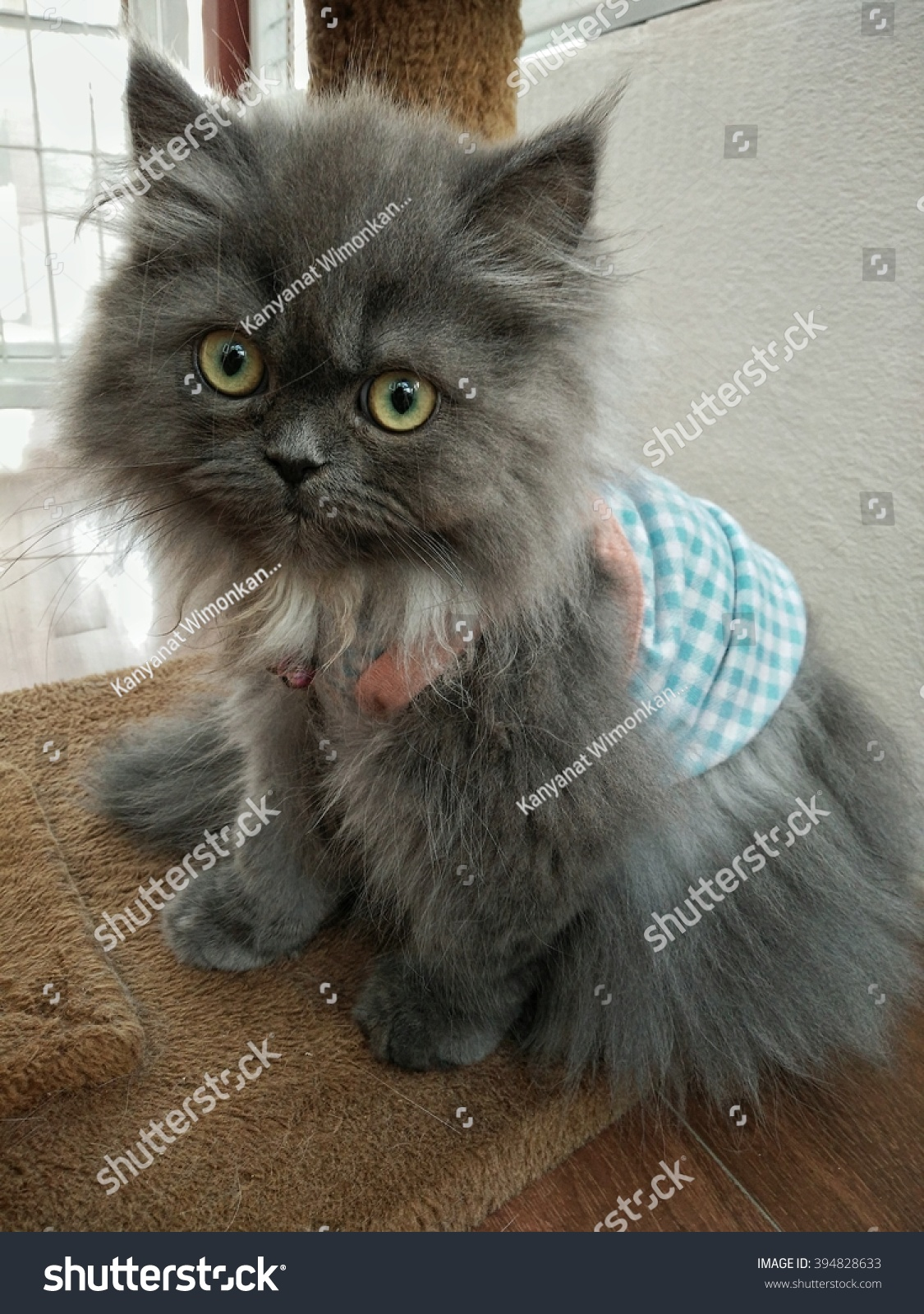 Grey Persian Cat 2 Months Old Stock Shutterstock