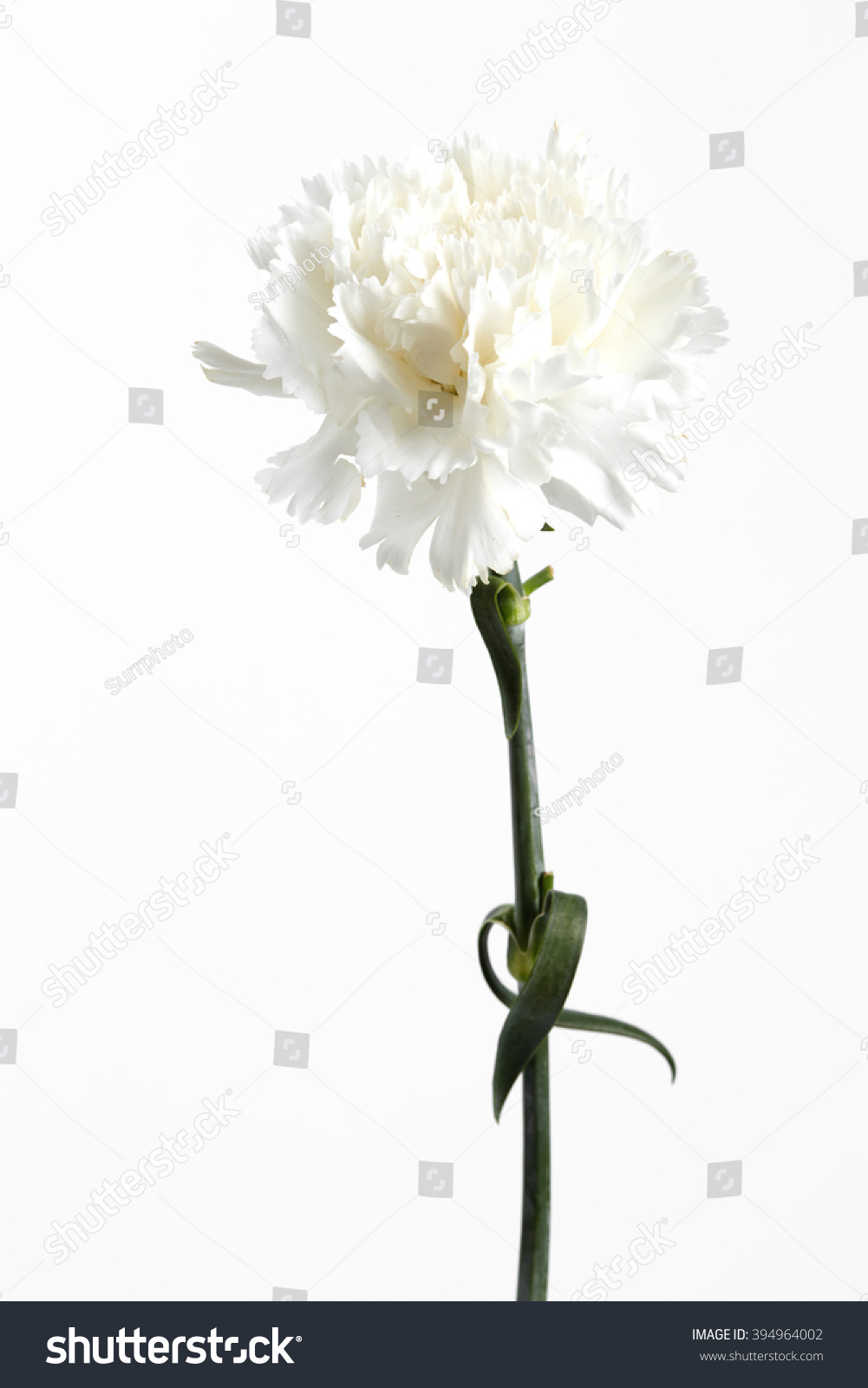 White Carnation Flower On White Background Stock Photo Edit Now