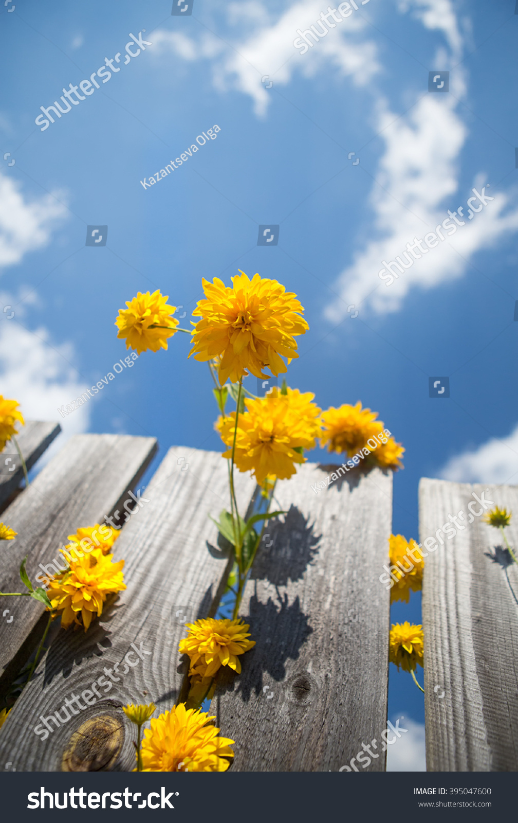 Yellow flowers shape ball grow wooden stock photo 395047600 yellow flowers in the shape of a ball grow from a wooden fence on a background mightylinksfo