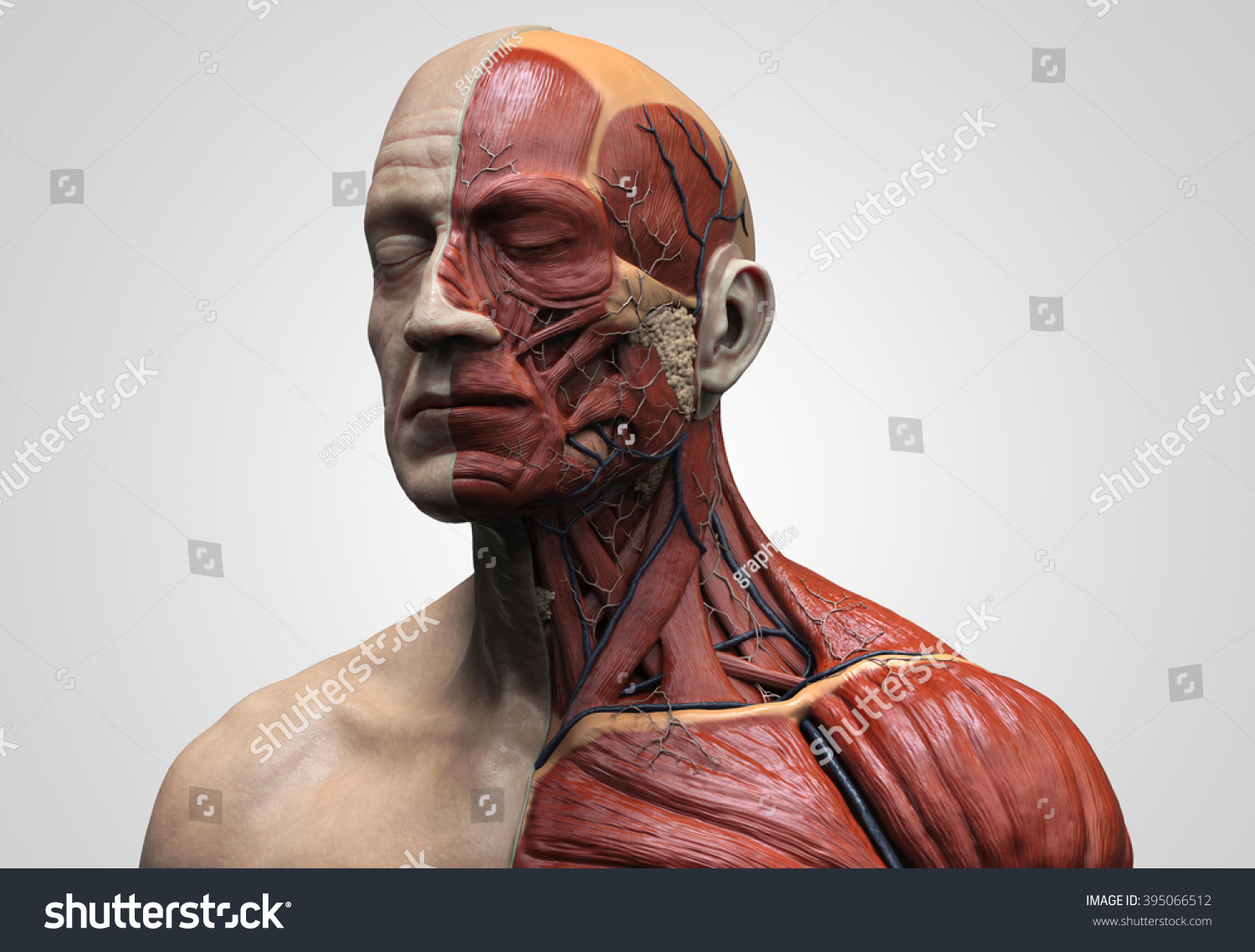 Human Anatomy Muscle Anatomy Face Neck Stock Illustration 395066512