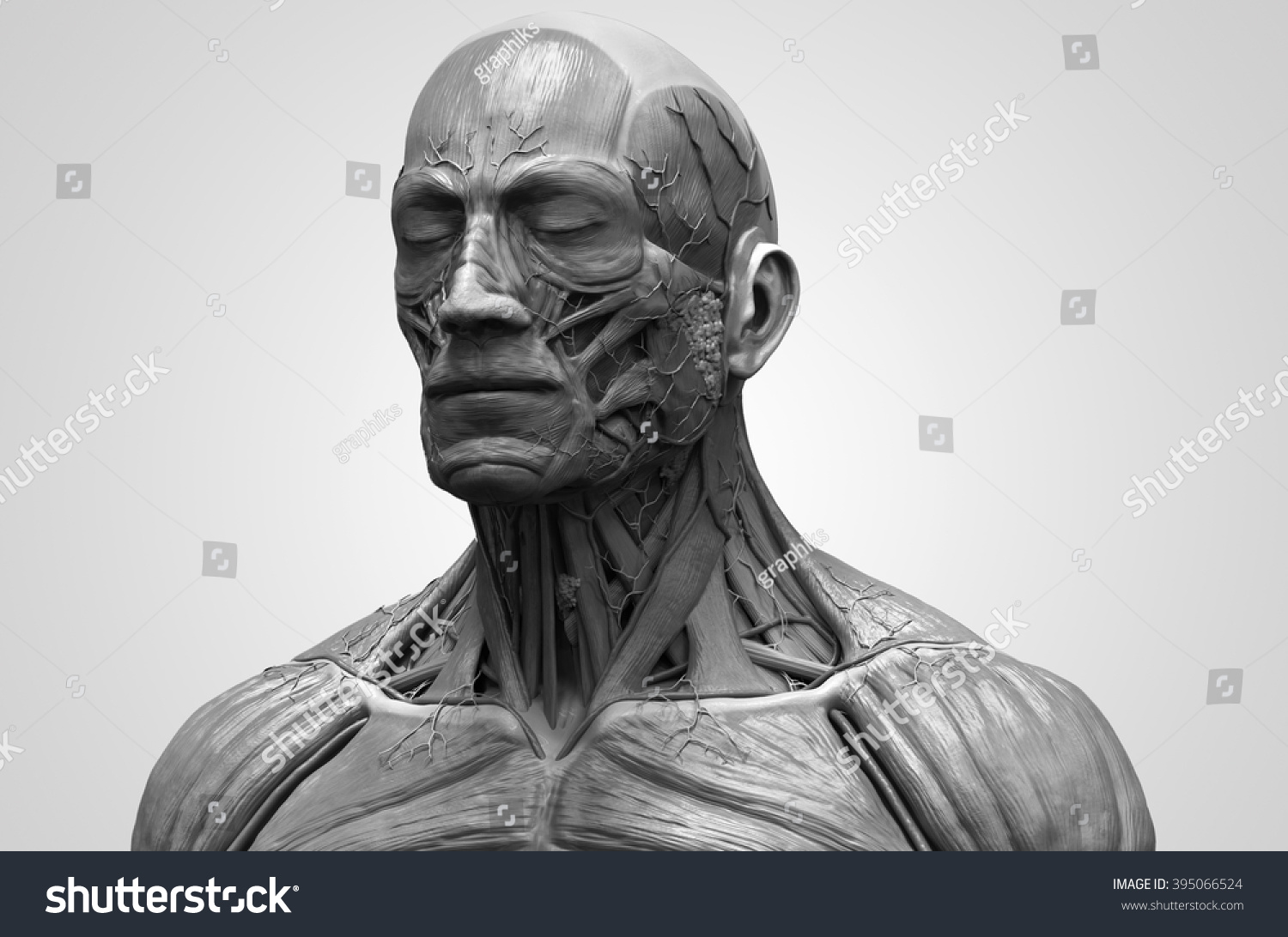 Medical Reference Human Anatomy Muscular Structure Stockillustration