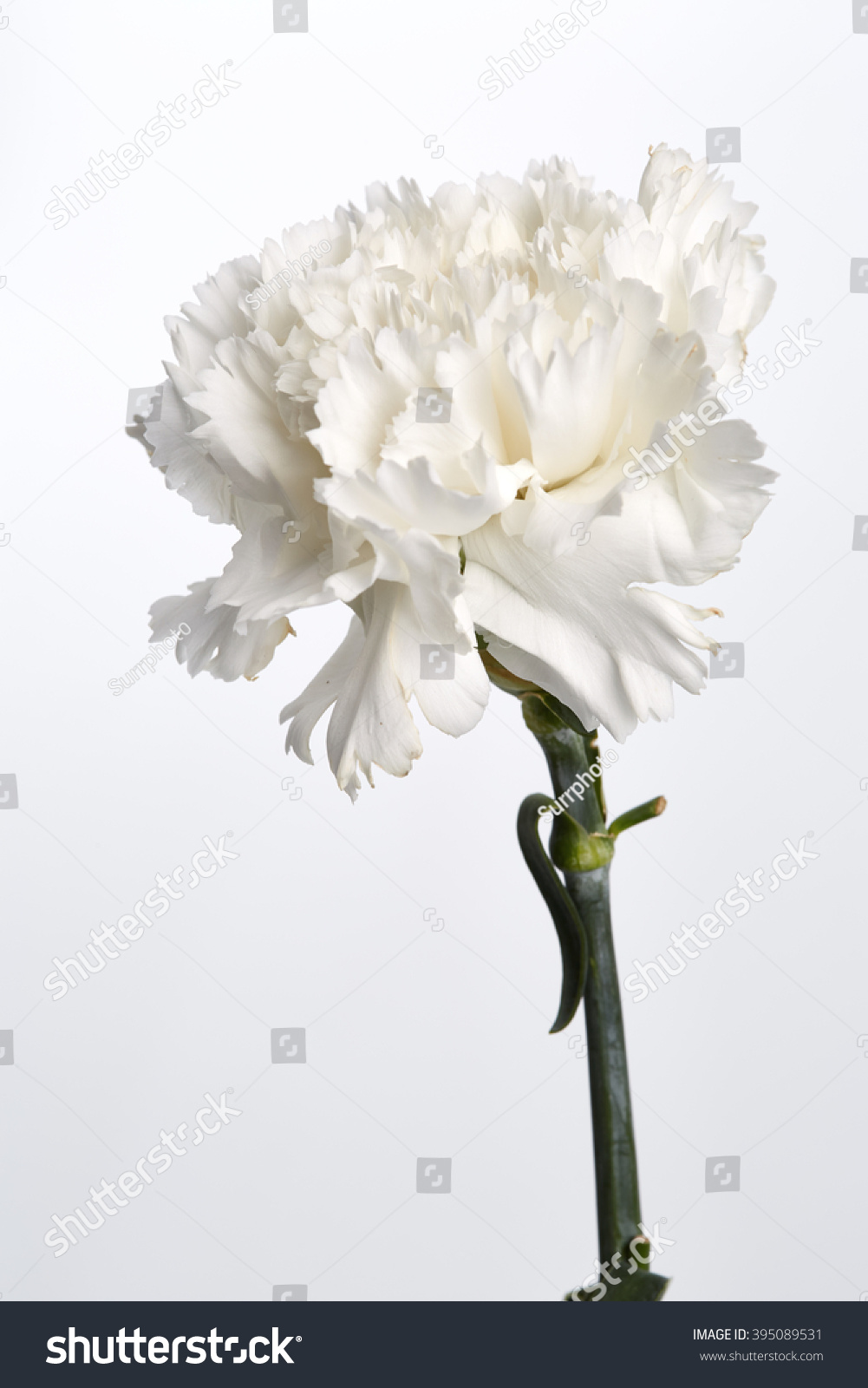 White Carnation Flower On White Background Stock Photo (Royalty Free ...