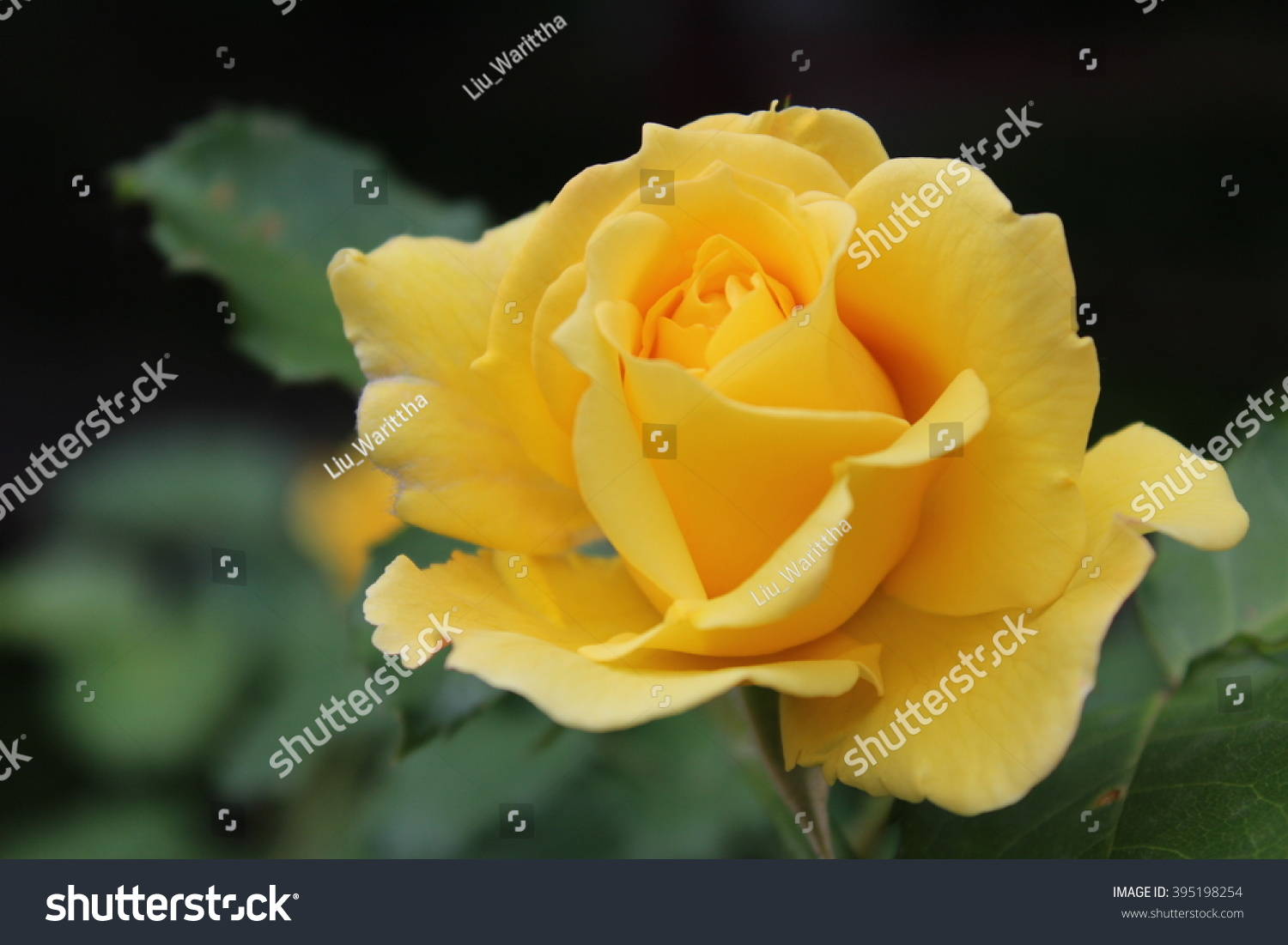 Royalty Free Yellow Roses Meaning Bright Cheerful 395198254 Stock