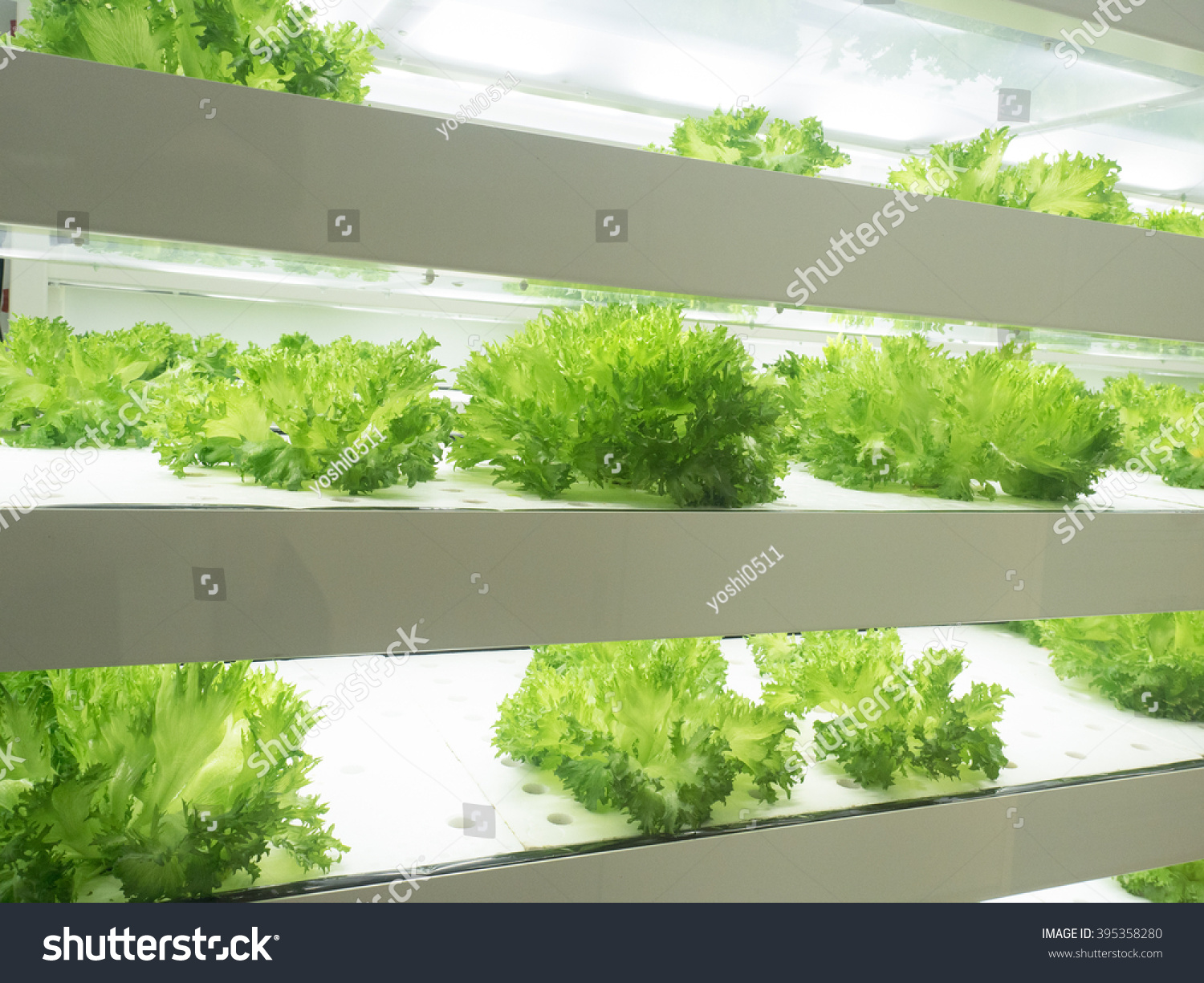 indoor vegetable factory stock photo 395358280 shutterstock. Black Bedroom Furniture Sets. Home Design Ideas