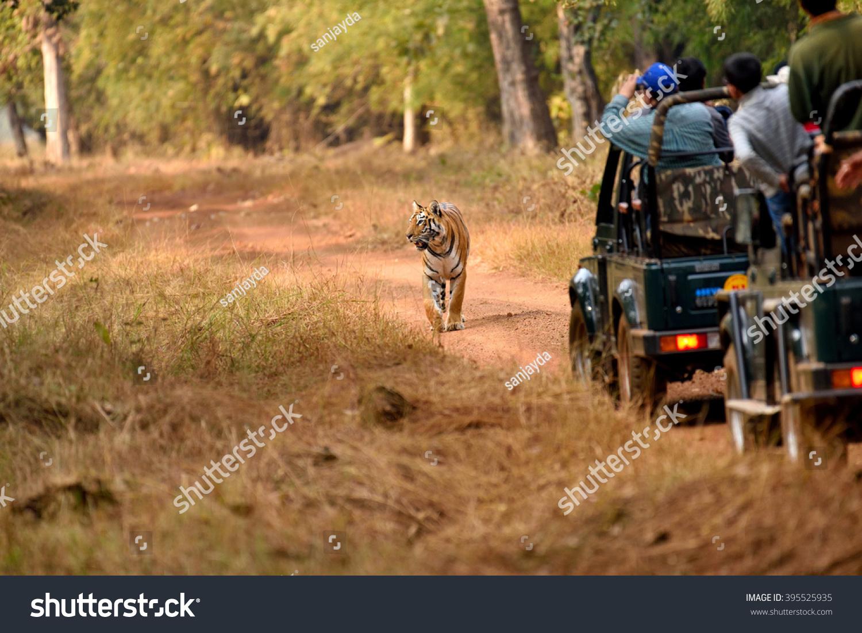 Royal bengal tiger tadoba maharashtra india