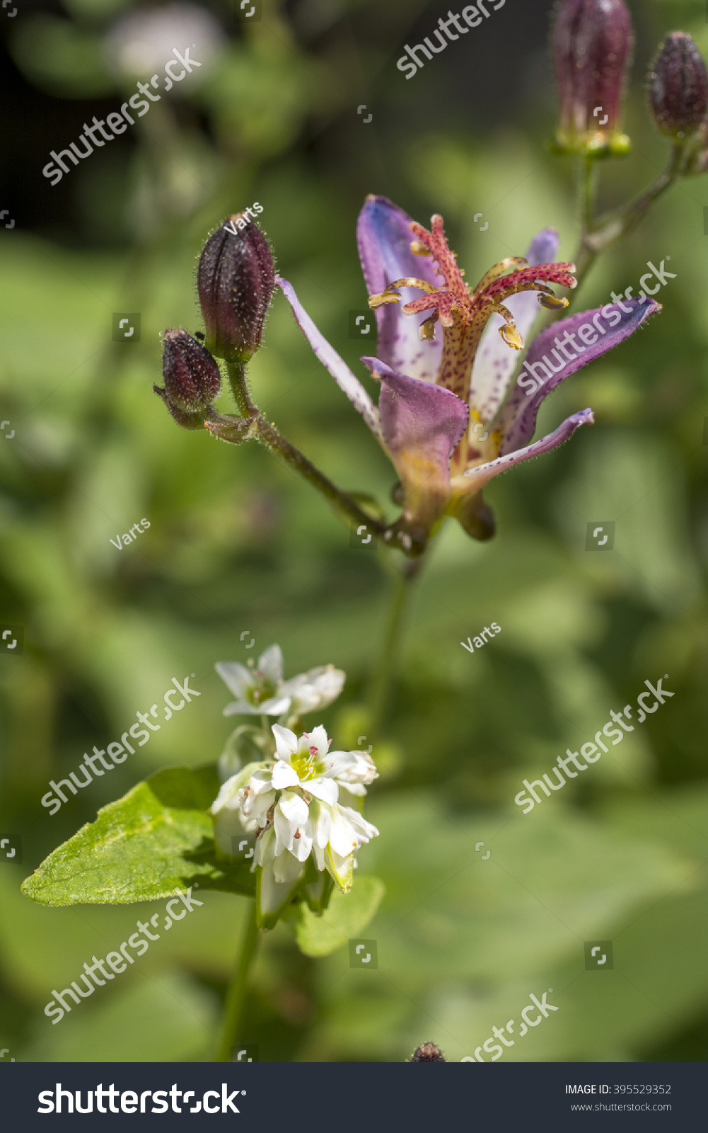 Toad lily flower and buck wheat flower in vertical composition ez id 395529352 izmirmasajfo