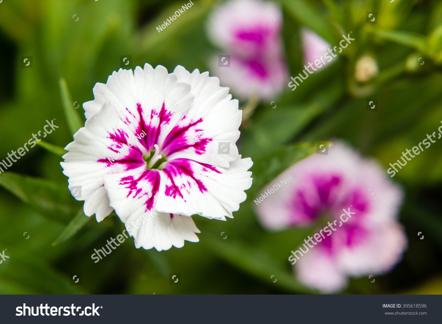 Dianthus Chinensis China Pink Flowers Garden Stock Photo Royalty