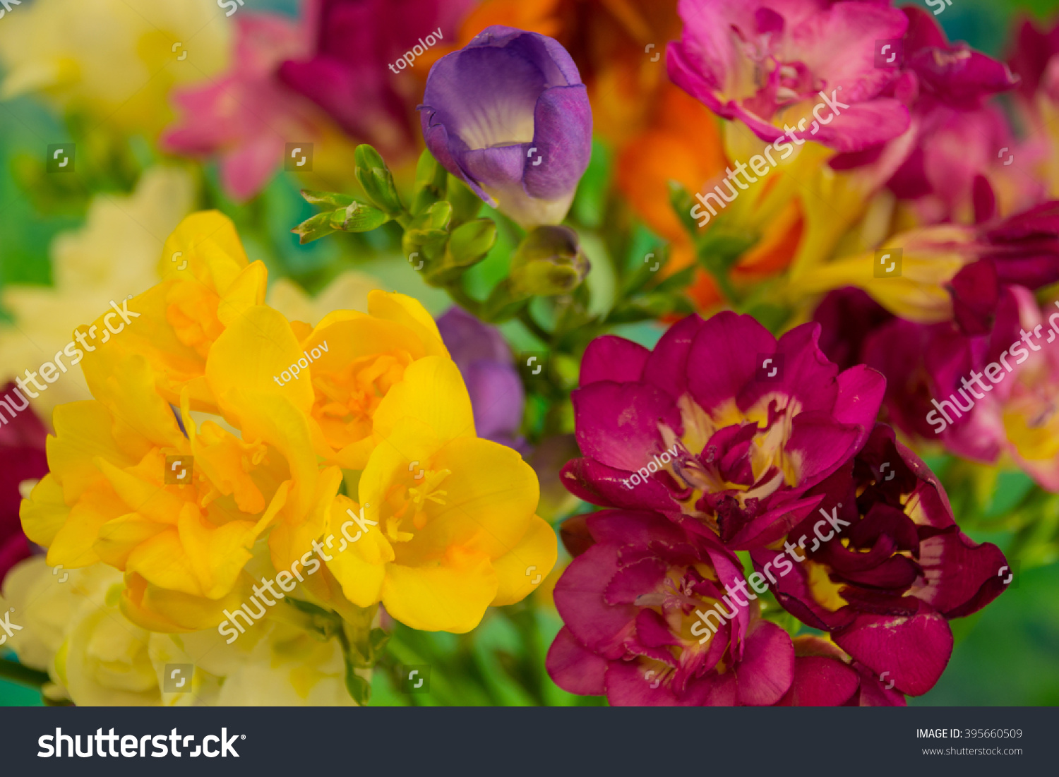Freesia flowers on bright background freesia stock photo 395660509 freesia flowers on bright background freesia is a genus of herbaceous perennial flowering plants in mightylinksfo