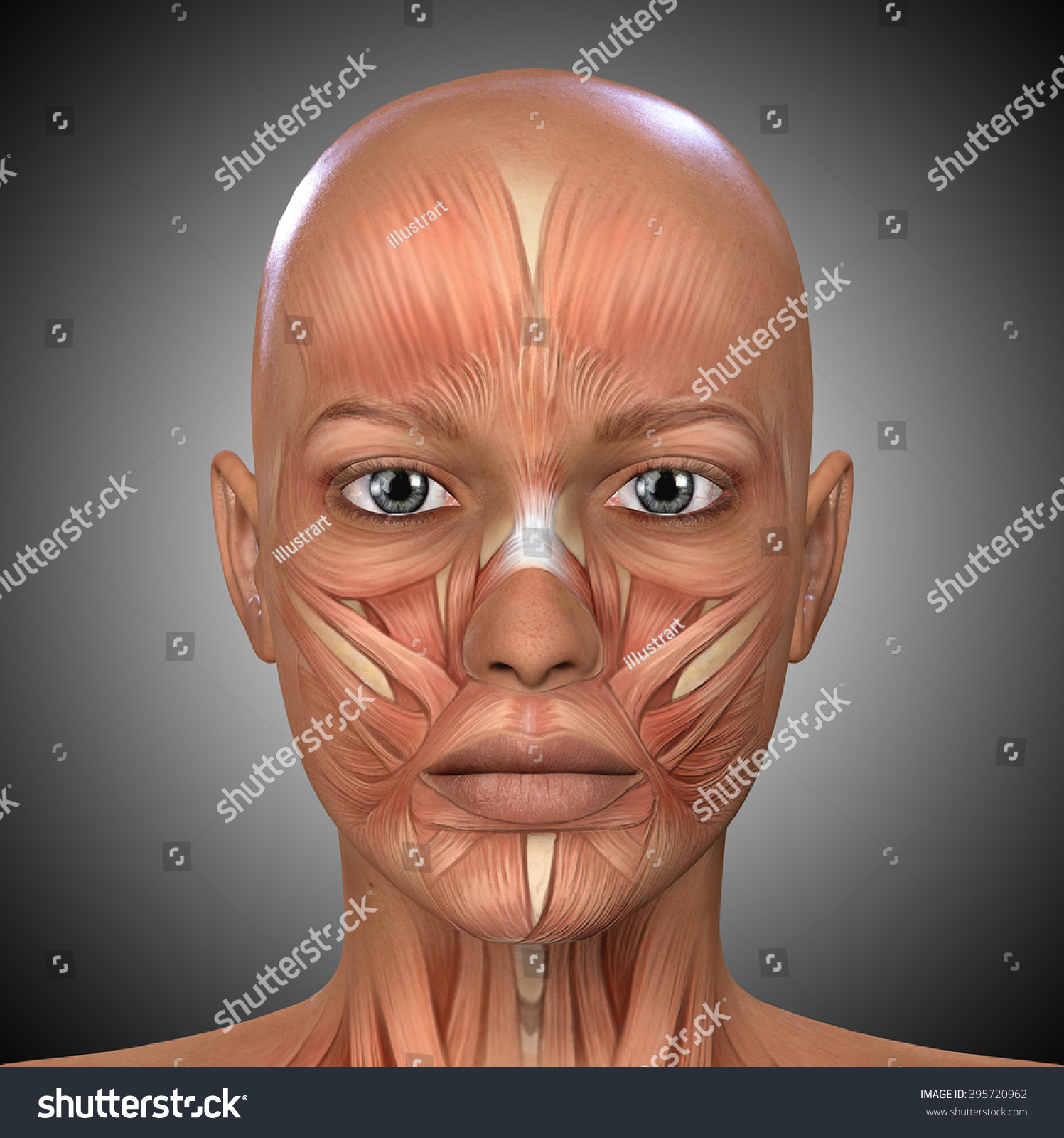 Female Face Muscles Anatomy Stock Illustration 395720962 Shutterstock