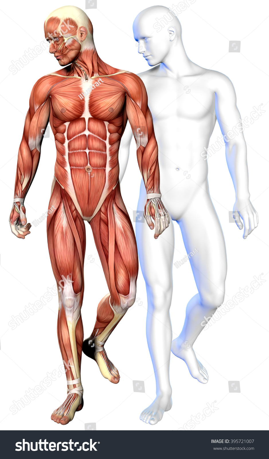 3 D Male Body Anatomy Isolated On Stock Illustration 395721007
