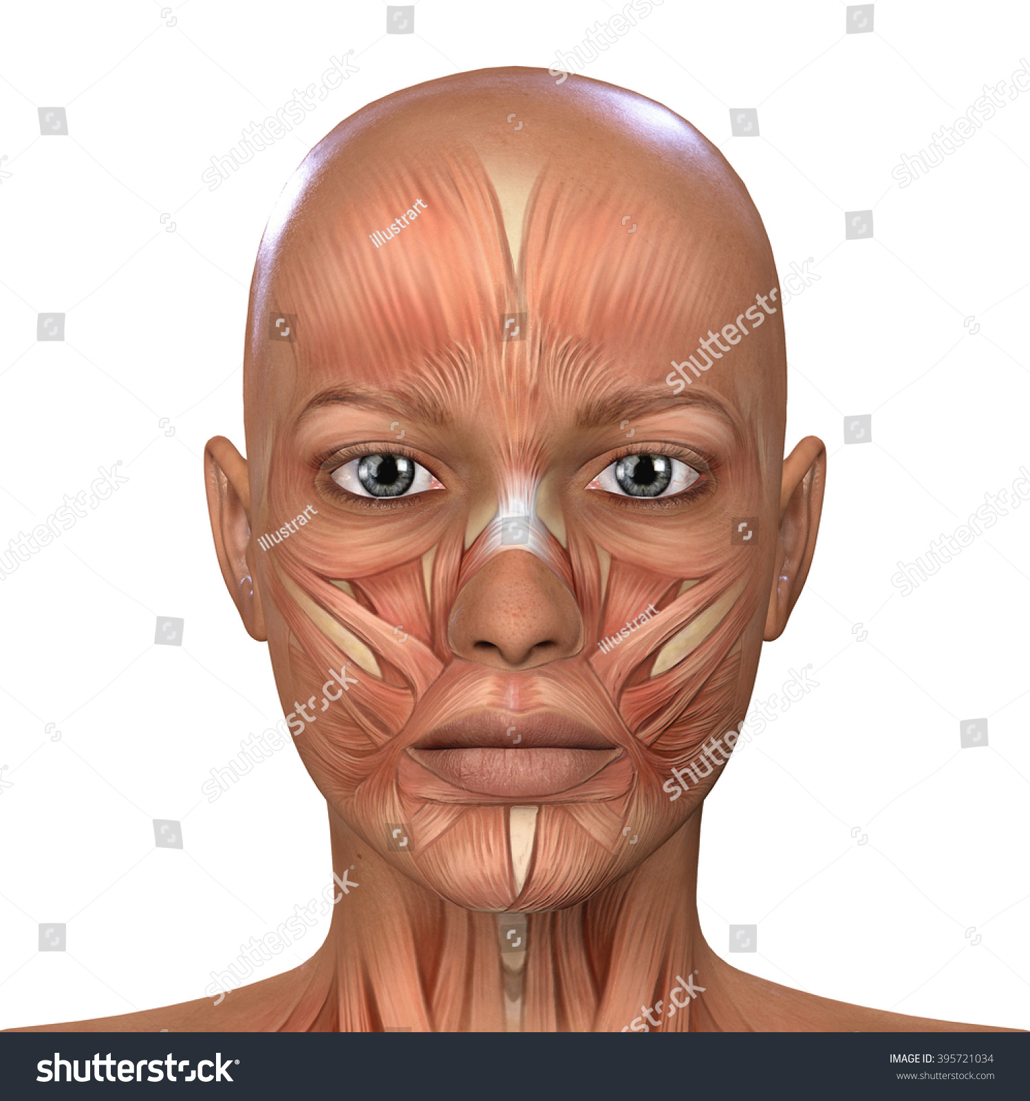 Female Face Muscles Anatomy Stock Illustration 395721034 - Shutterstock