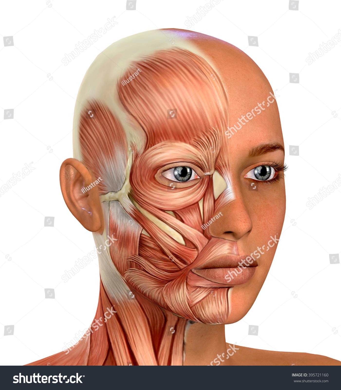 Female Face Muscles Anatomy Stock Illustration 395721160 Shutterstock