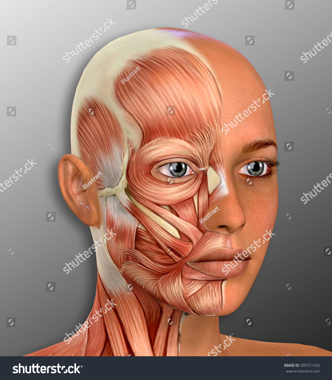 Female Face Muscles Anatomy Illustration Stock Illustration ...