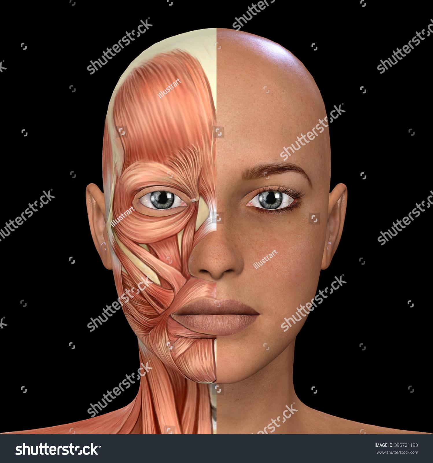 Female Face Muscles Anatomy Stock Illustration 395721193 - Shutterstock