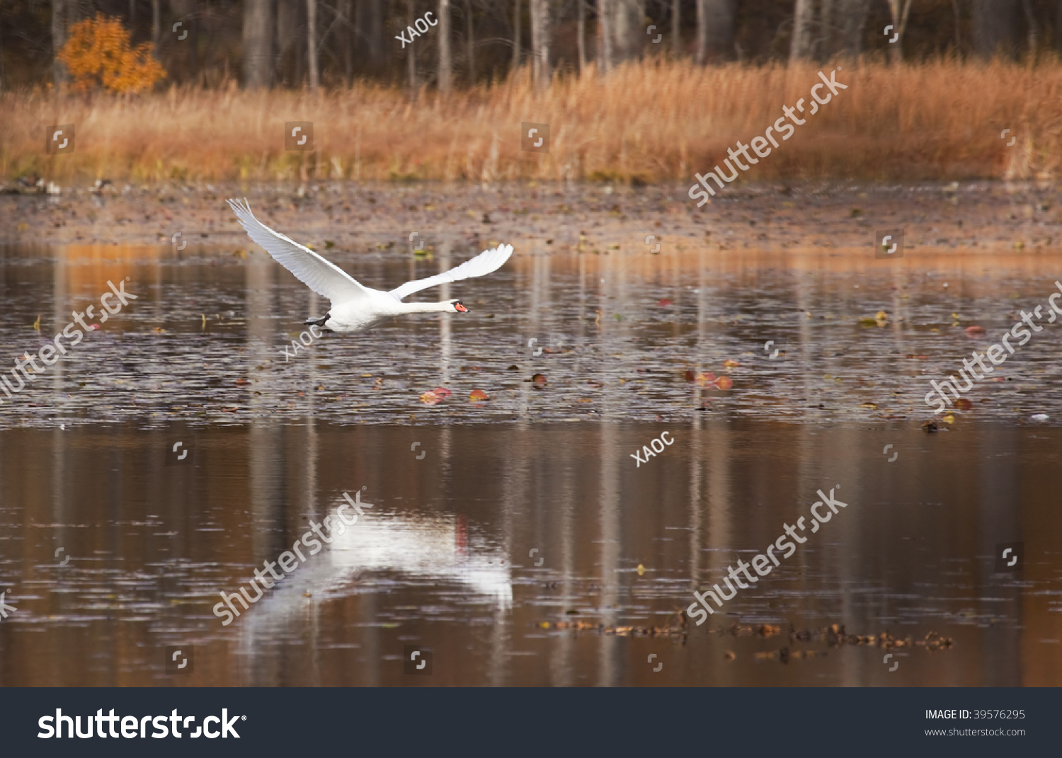Photo Of A Beautiful Swan Flying Over Water - 39576295 ...