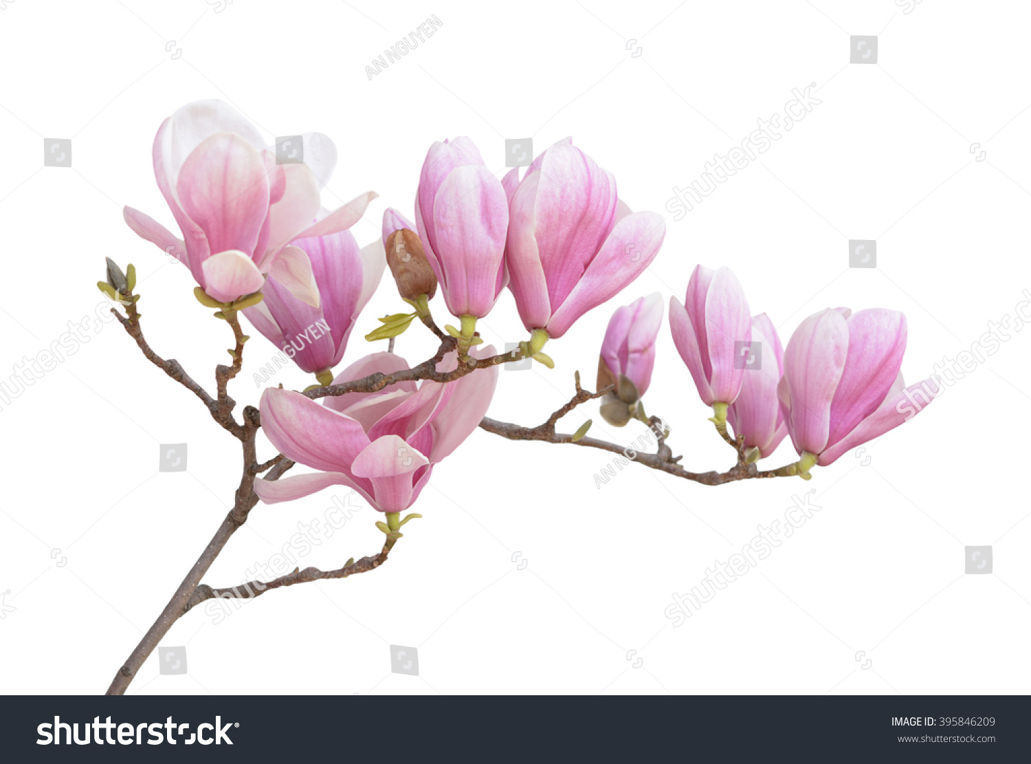 Pink Magnolia Flower Isolated On White Stock Photo Edit Now