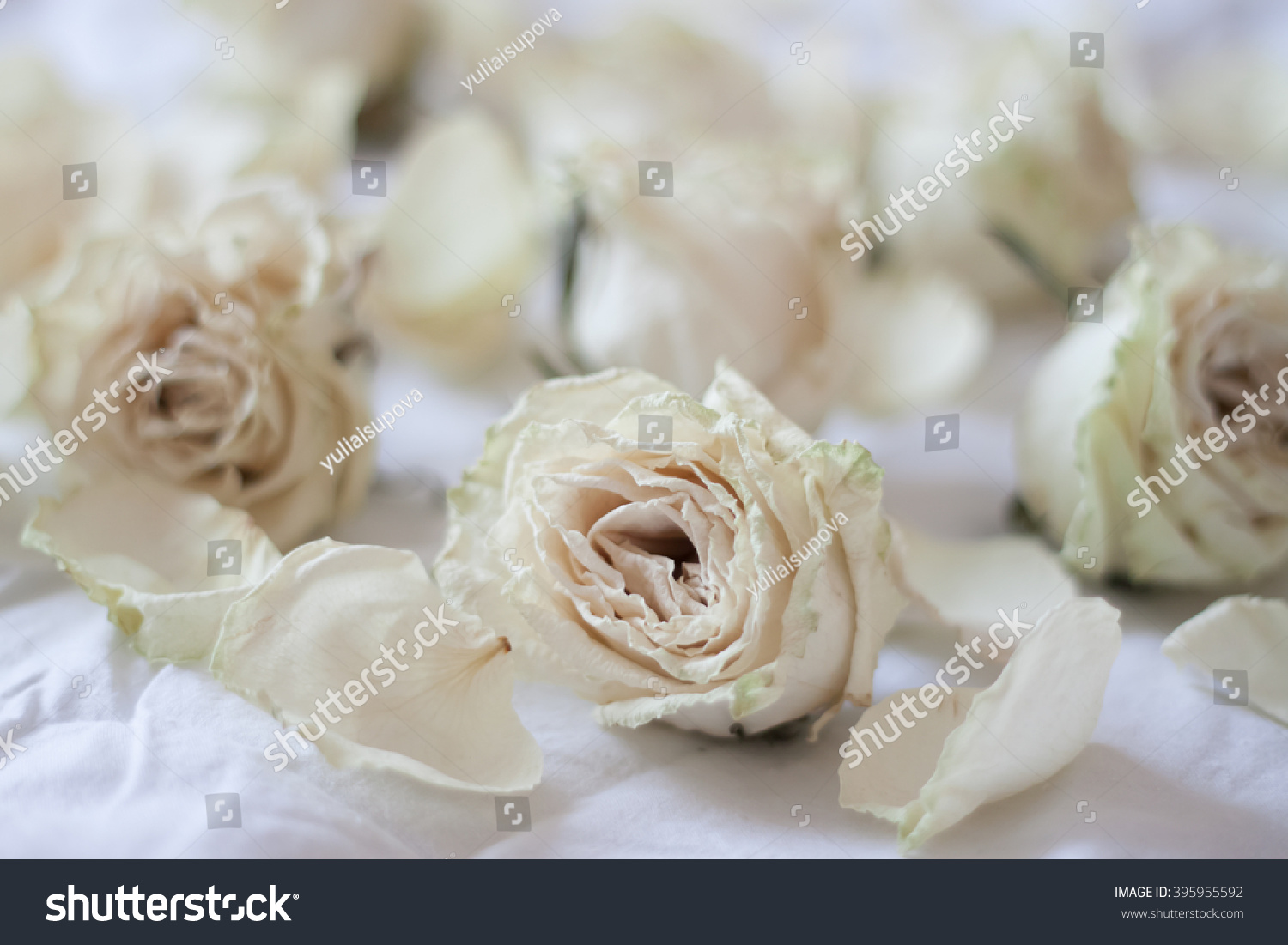 Dried White Roses Ez Canvas